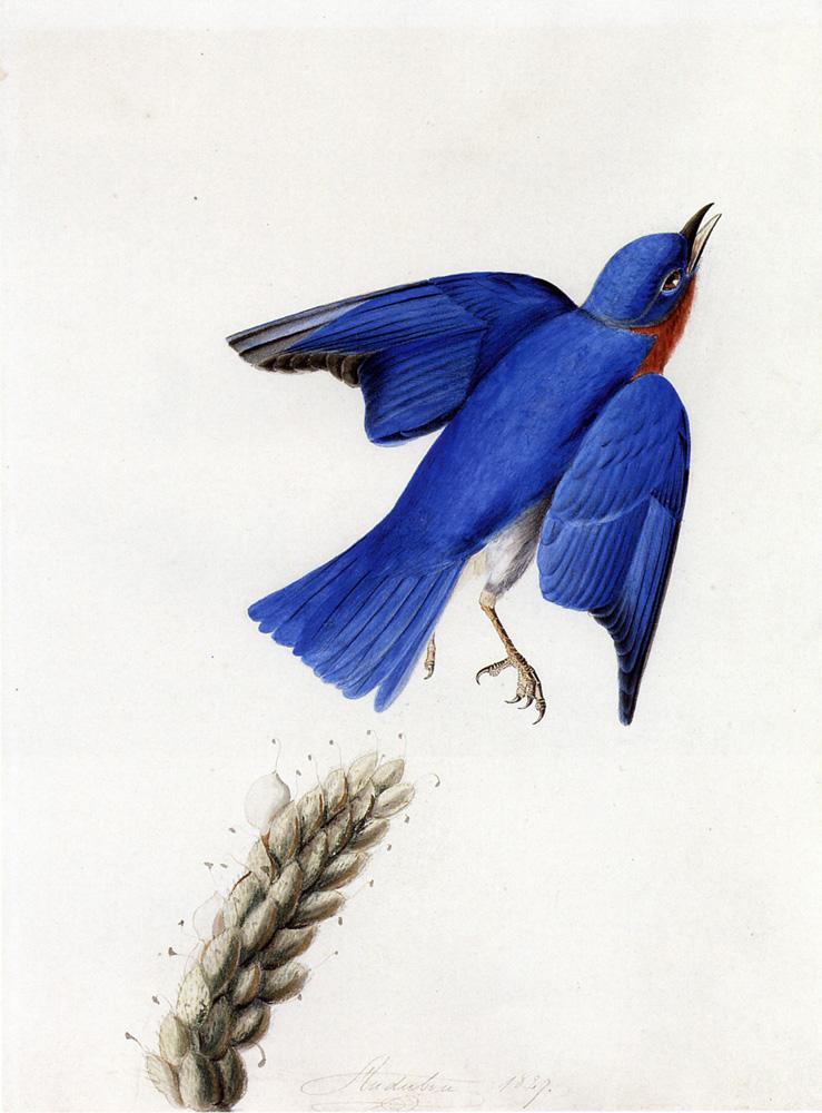 John James Drawings Eastern Bluebird John James