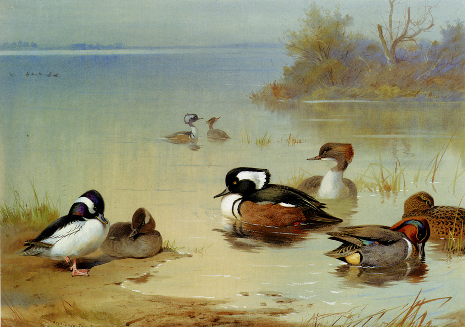 Archibald Thorburn >> Buffel-Headed Duck,, American Green-Winged Teal And Hooded Merganser  |  (Watercolor, artwork, reproduction, copy, painting).