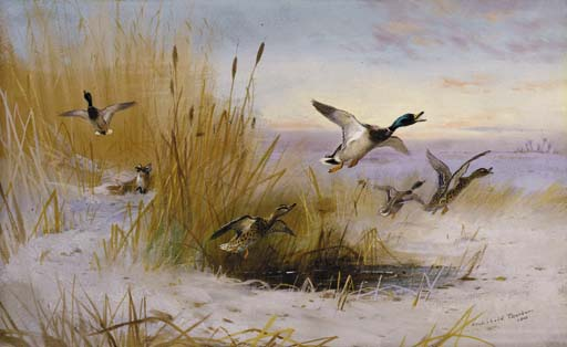 Archibald Thorburn >> Delusive Hopes. Mallards In A Winter Marsh Startled By A Fox  |  (Watercolor, artwork, reproduction, copy, painting).