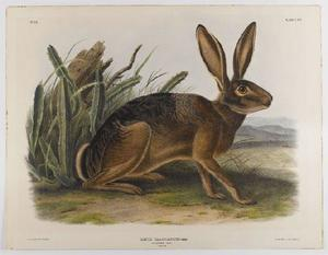 John James Audubon - California Hare