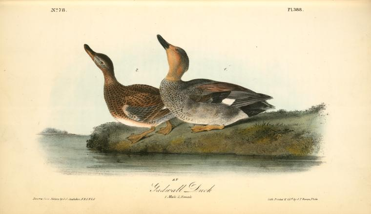 Gadwall Duck. 1. Male. 2. Female, Oil by John James Audubon (1785-1851 ...