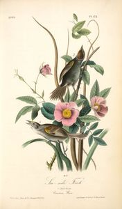 John James Audubon - Sea-side Finch. 1. Male. 2. Female. (Carolina Rose. Rosa Caroina.)