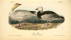 John James Audubon - Snow Goose. 1. Adult Male. 2. Young Female