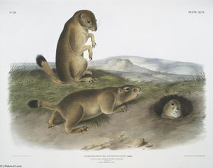 John James Audubon - Spermophilus ludovicianus, Prairie Dog-Prairie Marmot Squirrel. Natural Size. 1. Male, 2. Female, 3. Young