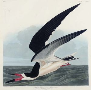 Robert Havell - Black Skimmer