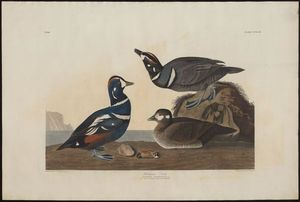 Robert Havell - Harlequin Duck