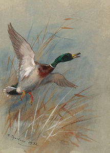 Archibald Thorburn - A Mallard Rising From Reeds