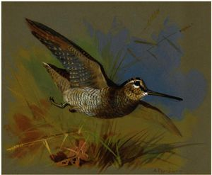 Archibald Thorburn - A Woodcock In Flight