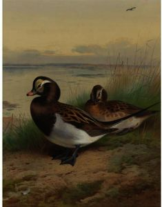 Archibald Thorburn - Long Tailed Duck, Summer