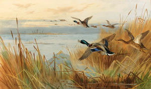 Archibald Thorburn - Mallard In Flight