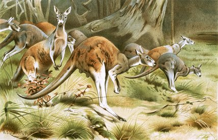 The Red Kangaroo by Friedrich Wilhelm Kuhnert (1865-1926, Poland) | Art Reproduction | WahooArt.com