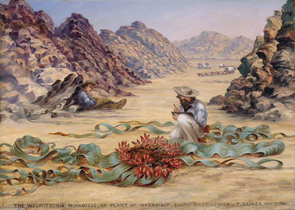 The Welwitschia Mirabilis by Thomas Baines (1820-1875, United Kingdom)