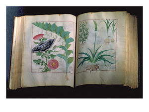 Robinet Testard - Two Pages Depicting Rose And Garlic,