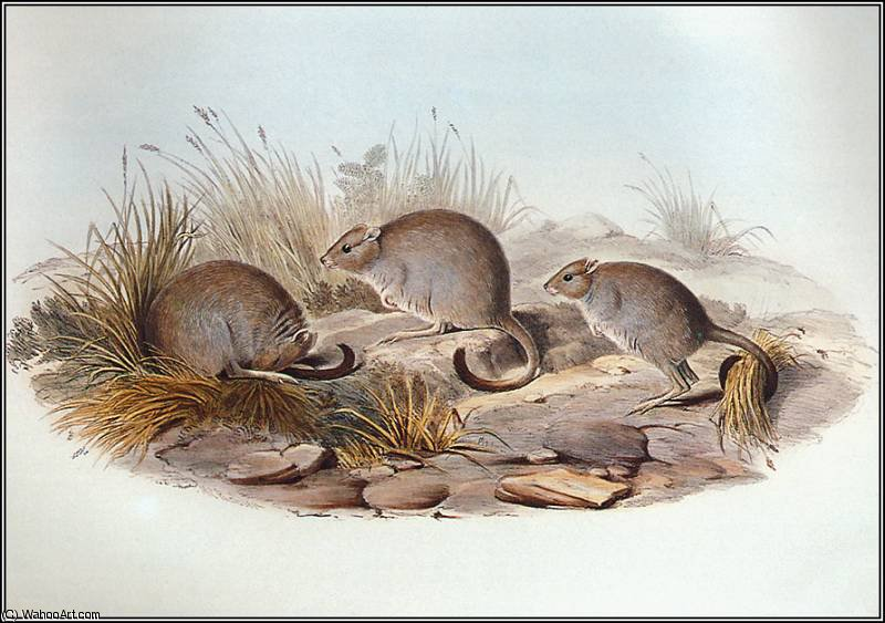 Brush-Tailed Bettong by John Gould (1804-1881, United Kingdom) | Art Reproduction | WahooArt.com