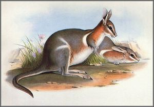 John Gould - crescent nail - tail wallaby