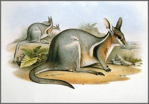 John Gould - bridled nail - tail wallaby