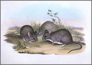 John Gould - greater stick nest rat