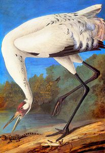 John James Audubon - Whooping Crane late