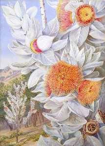Marianne North - Foliage, Flowers and Seed Vessels of a Rare West Australian Shrub