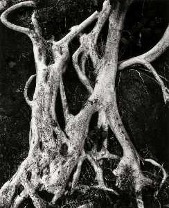 Brett Weston - Banyan Roots