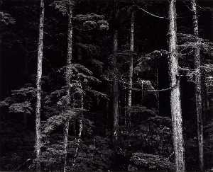 Brett Weston - Untitled (Pines, Trunks)
