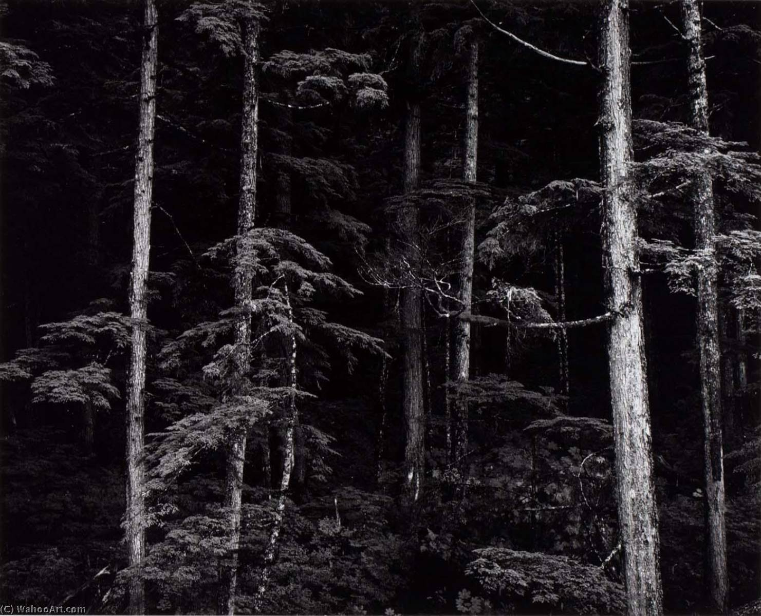 Untitled (Pines, Trunks), 1973 by Brett Weston (1911-1993, United States) |  | WahooArt.com