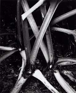 Brett Weston - Untitled (Stalks, Rhubarb)
