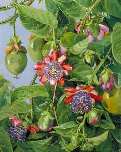Marianne North - Flowers and Fruit of the Maricojas Passion Flower, Brazil