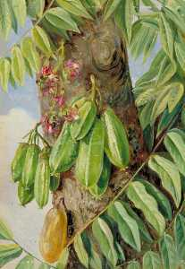 Marianne North - The Bilimbi or Blimbing, Jamaica