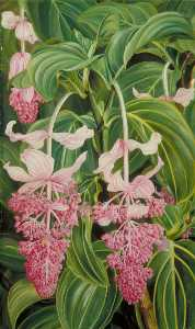 Marianne North - Foliage and Flowers of Medinilla magnifica