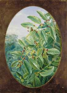 Marianne North - Sandal Wood of India