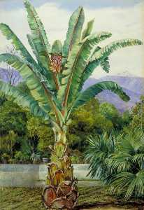 Marianne North - Abyssinian Ensete in a Garden in Teneriffe