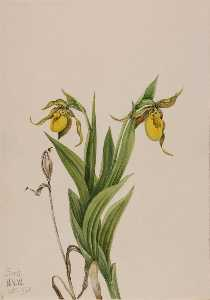 Mary Vaux Walcott - Yellow Lady's Slipper (Cypripedium parviflorum)