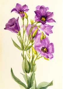 Mary Vaux Walcott - Eustoma russelianum