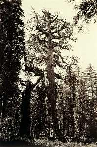 Carleton Emmons Watkins - The Grizzly Giant, Mariposa Grove, Yosemite, California