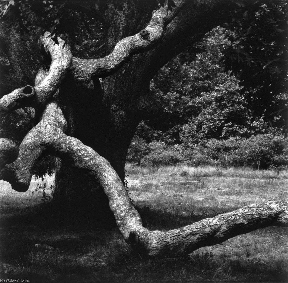 The Tree, Martha`s Vineyard, 1973 by Aaron Siskind (1903-1991, United States) | Art Reproduction | WahooArt.com
