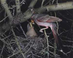 Eliot Porter - Pyrrhuloxia, Male and Female