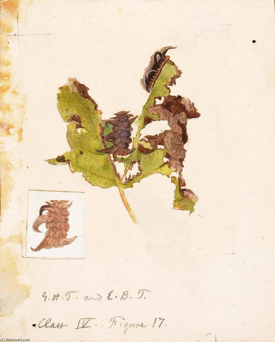 Order Reproductions | Crumpled Leaf Caterpillar, study for book Concealing Coloration in the Animal Kingdom by Emma Beach Thayer | WahooArt.com