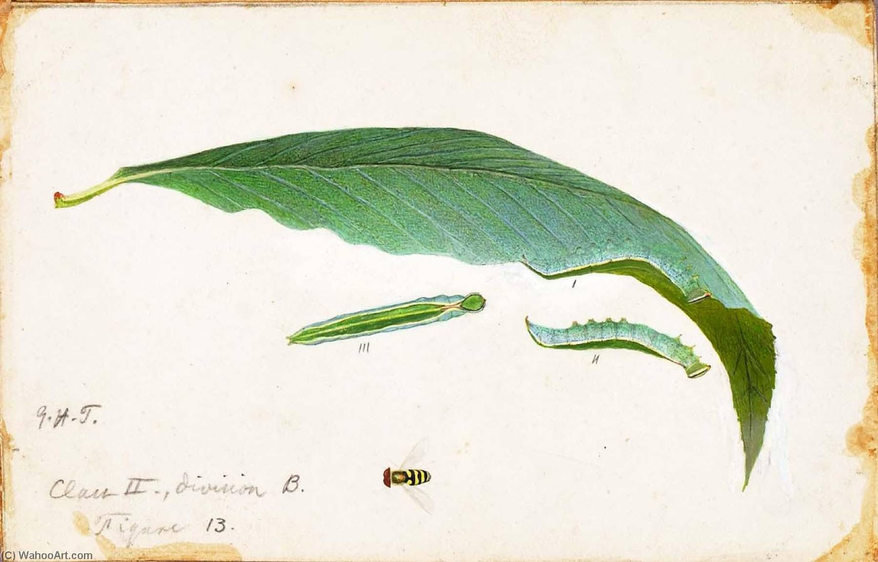 Unspotted Beach Leaf Edge Caterpillar, study for book Concealing Coloration in the Animal Kingdom by Emma Beach Thayer | Art Reproduction | WahooArt.com