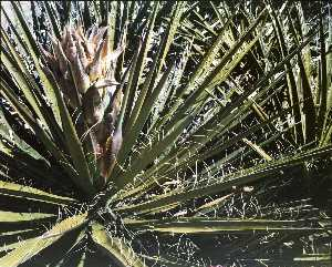 Kenda North - Untitled Flowering Yucca, from the series Marks on the Landscape