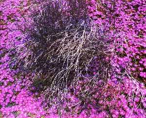 Kenda North - Untitled Purple Flowers, from the series Marks on the Landscape