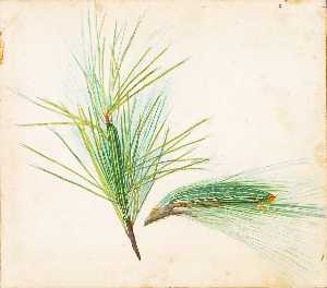 Gerald H Thayer - Pine Tuft Caterpillar, study for book Concealing Coloration in the Animal Kingdom