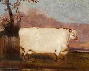 John Vine - A Shorthorn Cow